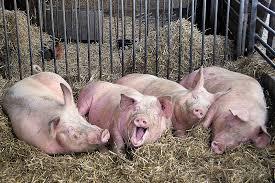 Pig Farming 3