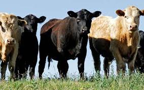 cattle 11
