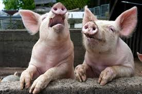 Pig 12