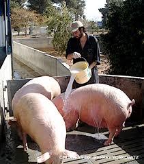 Pig fARMING 2